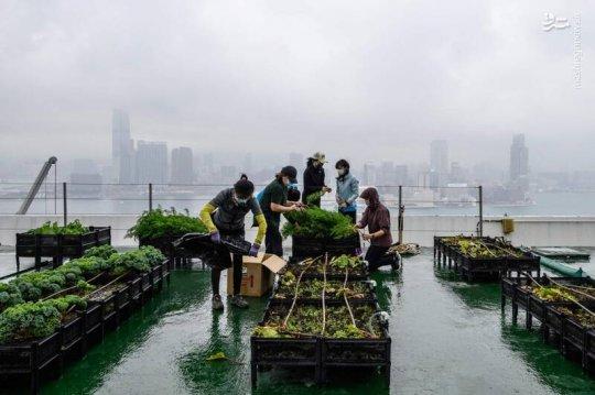 تصاویر/ کشت محصولات کشاورزی روی بام آسمانخراش